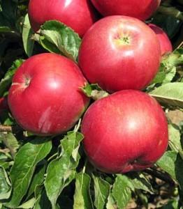 ajdared-jabuka-rasadnik-palvovic