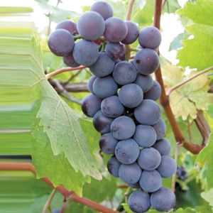 crna-tamjanika-vinska-sorta