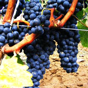 frankovka-vinska-sorta