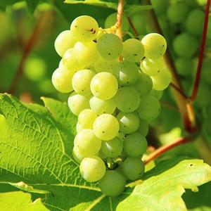 italijanski-rizling-vinska-sorta