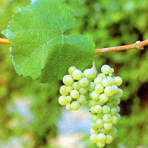 rajski-rizling-vinska-sorta