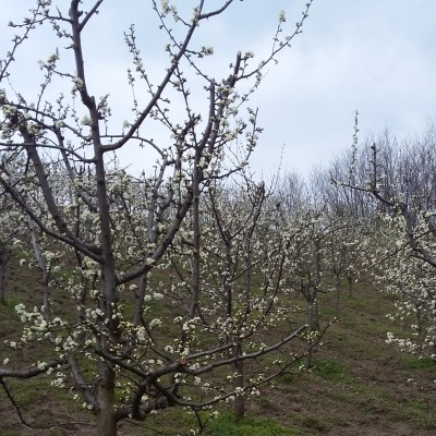 rasadnik-pavlovic-prodaja-sadnice (2)