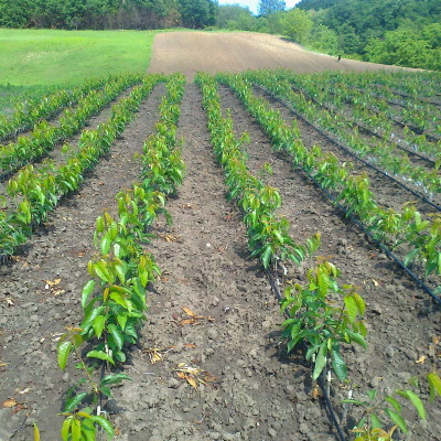 rasadnik-pavlovic-prodaja-sadnice (3)