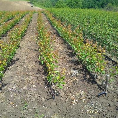 rasadnik-pavlovic-prodaja-sadnice (4)