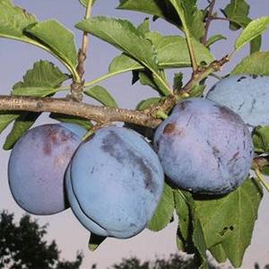 sadnice-sljive-timocanka