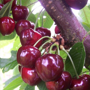 sadnice-tresnje-burlat