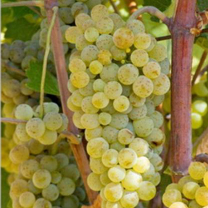 sardone-vinska-sorta