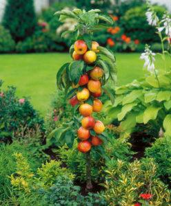 stubasta-jabuka