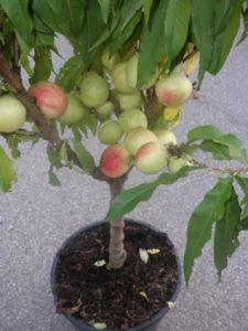 vocna-sadnica-mini-nektarina
